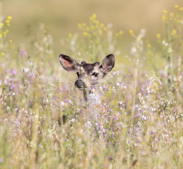 Black-tailed Deer (Odocoileus hemionus) peeking through Spring flowers. Stock photo © yhelfman