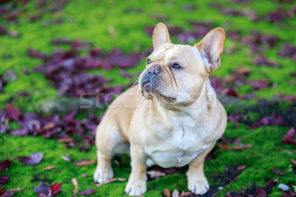 French Bulldog with Purple Leaved Plum Leaves and Moss. Stock photo © yhelfman