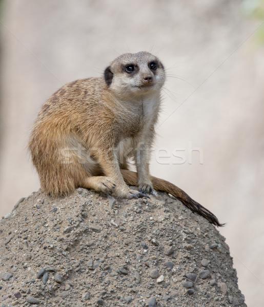 Slender-Tailed Meerkat (Suricata suricatta) Stock photo © yhelfman