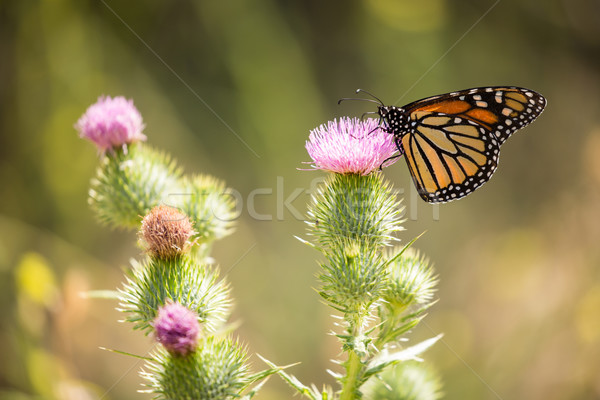 Monarch butterfly - Danaus plexippus Stock photo © yhelfman