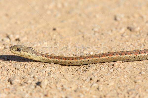 Coast Garter Snake (Thamnophis elegans terrestris). Stock photo © yhelfman