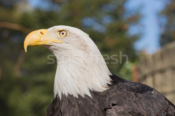 American Bald Eagle (Haliaeetus leucocephalus) Stock photo © yhelfman