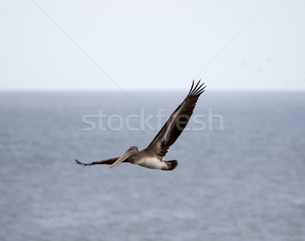 Brown Pelican (Pelecanus occidentalis) flying over the Pacific Ocean Stock photo © yhelfman