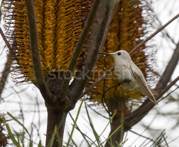 Rare Leucistic Anna's Hummingbird (Calypte anna) feeding on Hairpin Banskia (Banksia spinulosa) flow Stock photo © yhelfman