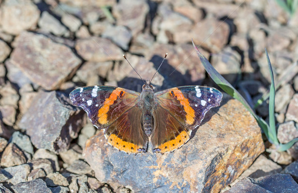 Red Admiral (Vanessa atalanta) butterfly perched on a rock Stock photo © yhelfman