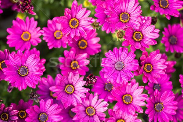 Daisy bloemen top madeliefjes Stockfoto © yhelfman