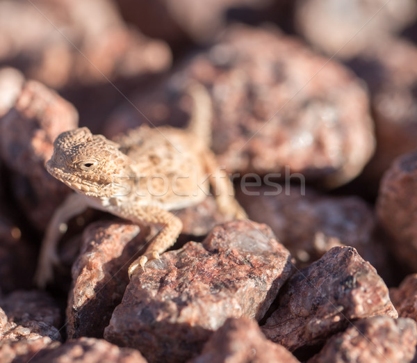 Desert Horned Lizard, horny toads - Phrynosoma platyrhinos Stock photo © yhelfman