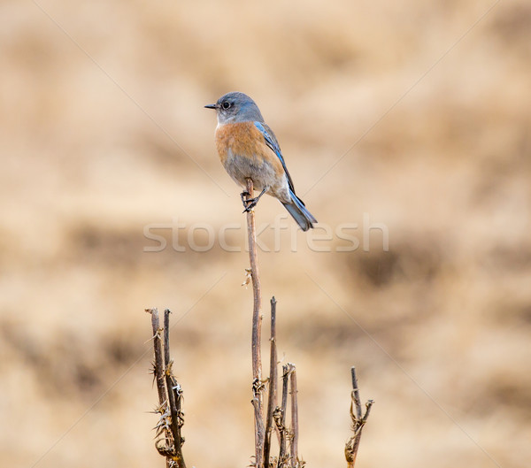 Western Bluebird (Sialia mexicana) Stock photo © yhelfman