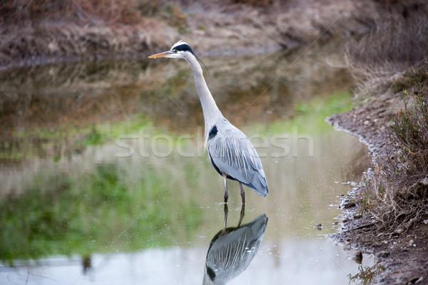 Great Blue Heron - Ardea herodias Stock photo © yhelfman