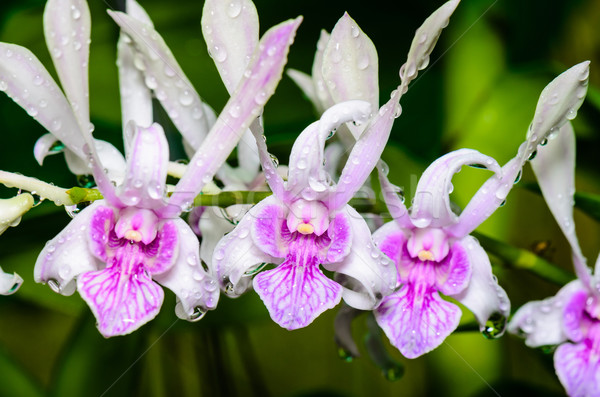Dendrobium orchid hybrids is white with pink stripes. Stock photo © Yongkiet