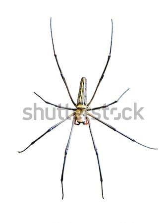 オーブ クモ 孤立した 白 ウェブ ストックフォト © Yongkiet