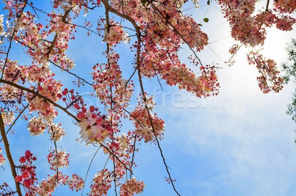 Pink flowering tree similar sakura Stock photo © Yongkiet