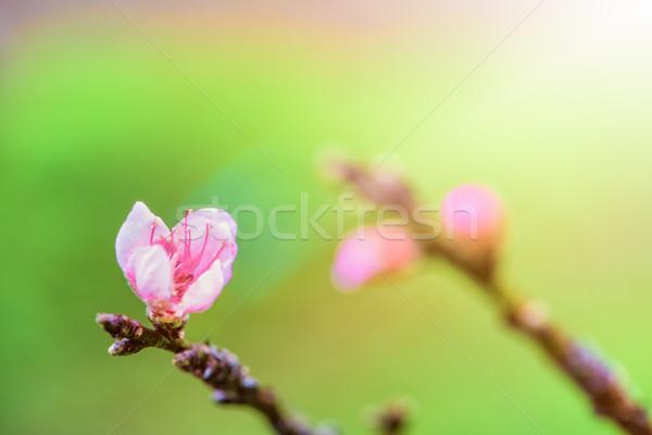 Roze bloem perzik klein bloesem boom Stockfoto © Yongkiet
