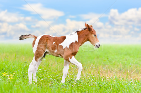 Stock photo: Horse foal walking in green grass