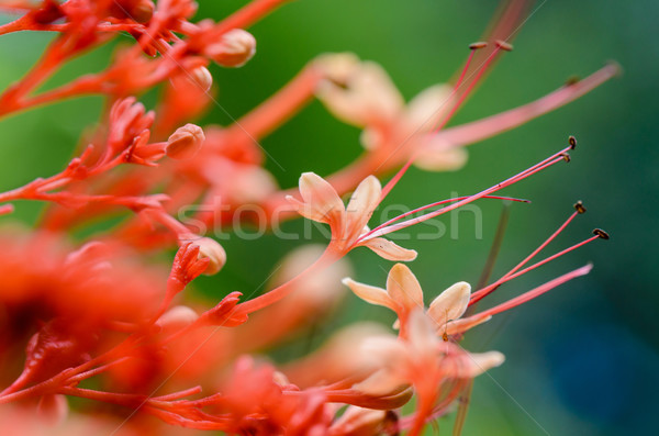 Clerodendrum Paniculatum or Pagoda Flower Stock photo © Yongkiet