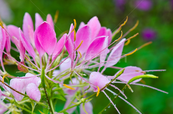 Różowy kwiaty rosa krople pająk Zdjęcia stock © Yongkiet