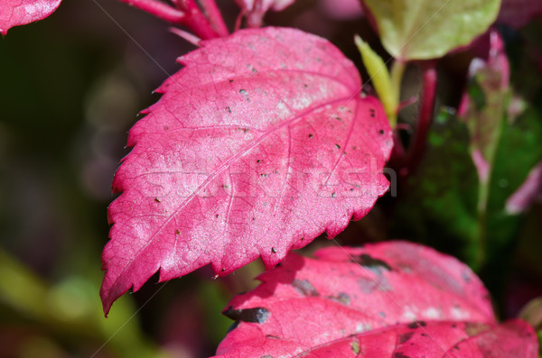 Pink leaf of the Hibiscus Stock photo © Yongkiet