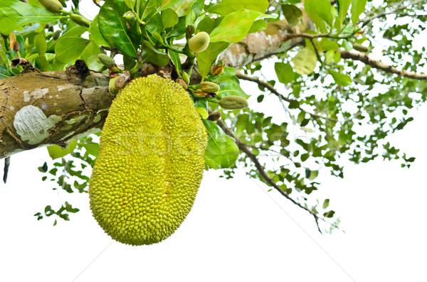 Jackfruit on the tree Stock photo © Yongkiet