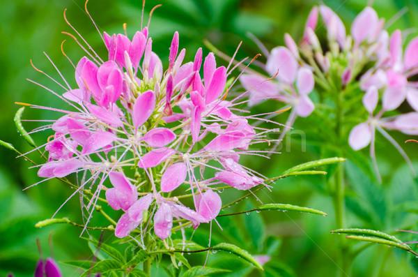 Roze bloemen dauw druppels spin Stockfoto © Yongkiet