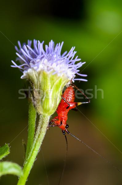 Küçücük kırmızı kriket siyah çim Stok fotoğraf © Yongkiet