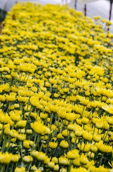 Içinde sera sarı krizantem çiçekler çiftlikleri Stok fotoğraf © Yongkiet