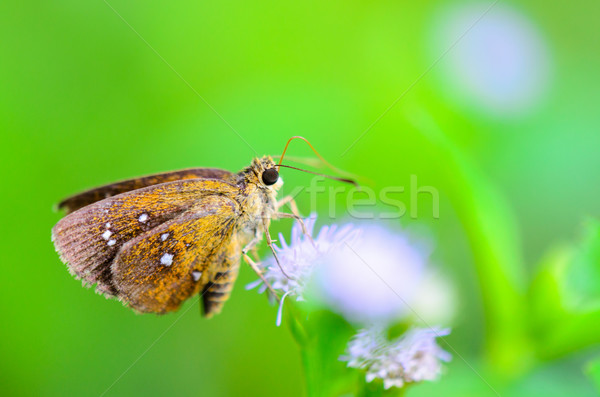 Chestnut Bob or lambrix salsala, Close up small brown butterfly Stock photo © Yongkiet