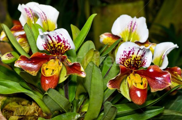 Terlik orkide egzotik çiçekler flora Stok fotoğraf © Yongkiet