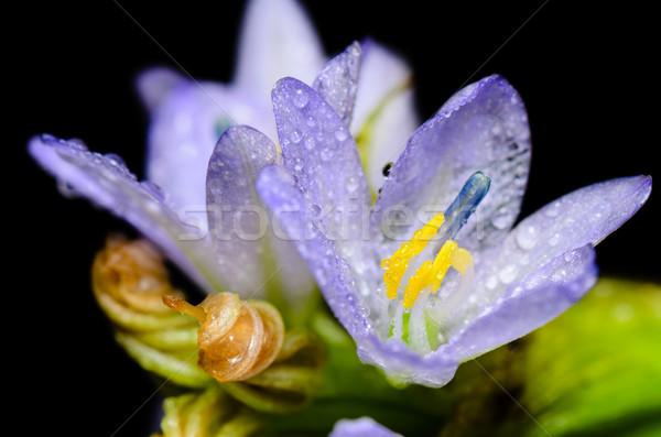 Roxo flores orvalho preto flor Foto stock © Yongkiet