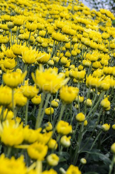 Close up yellow Chrysanthemum flowers in garden Stock photo © Yongkiet