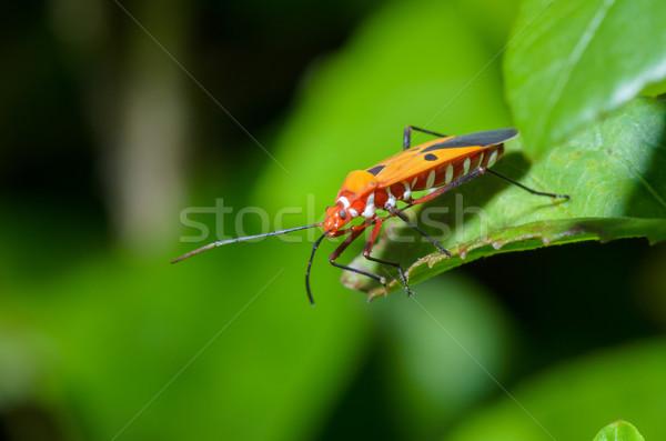 Piros pamut rovar közelkép zöld levél levél Stock fotó © Yongkiet