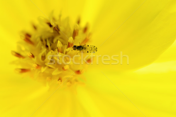 Insectes jaune pollen faible Photo stock © Yongkiet