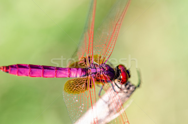 Trithemis aurora male Stock photo © Yongkiet