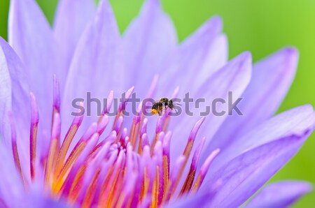 Stock photo: Macro insect and pollen of purple lotus ( Nymphaea Nouchali )