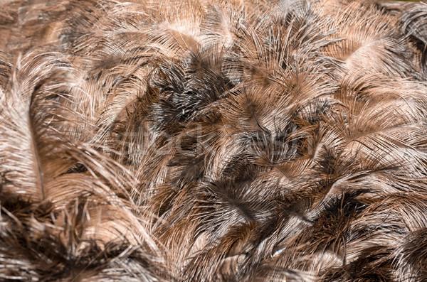 Feathers of turkey Stock photo © Yongkiet