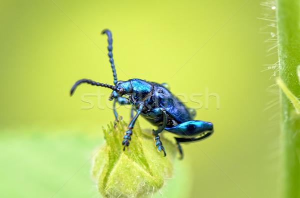 Chrysolina coerulans beetle Stock photo © Yongkiet