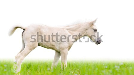 Stock photo: Horse foal in grass isolated on white