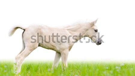 Ló csikó fű izolált fehér fehér ló Stock fotó © Yongkiet
