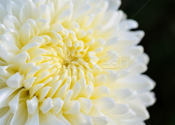 Beyaz krizantem çiçek orta ışık Stok fotoğraf © Yongkiet