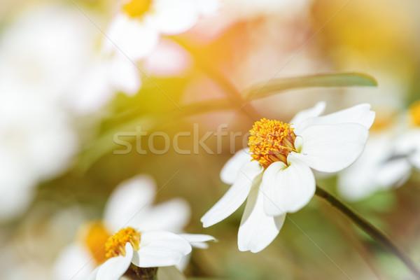 Witte bloemen zonlicht mooie avond klassiek voorjaar Stockfoto © Yongkiet