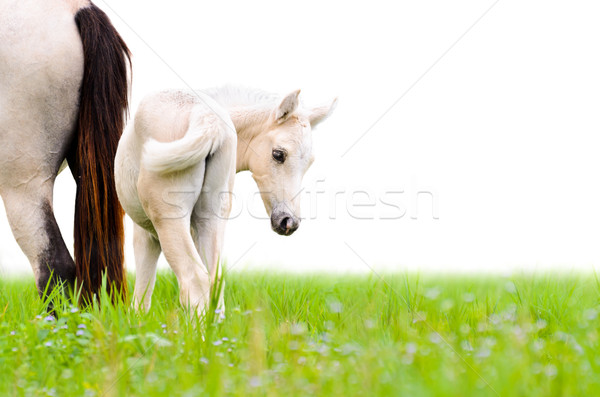 Horse foal looking isolated on white Stock photo © Yongkiet