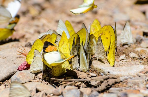 Borboleta terreno grama amarelo Foto stock © Yongkiet