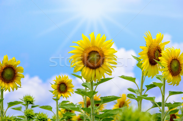 Sunflower or Helianthus Annuus on sky background Stock photo © Yongkiet