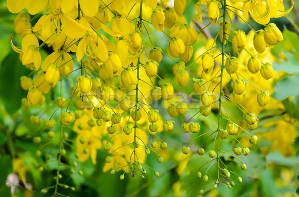 Purging Cassia or Ratchaphruek flowers ( Cassis fistula ) Stock photo © Yongkiet