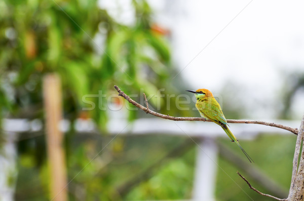 Little Green Bee Eater bird Stock photo © Yongkiet