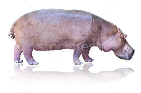 Hippos isolated on white Stock photo © Yongkiet