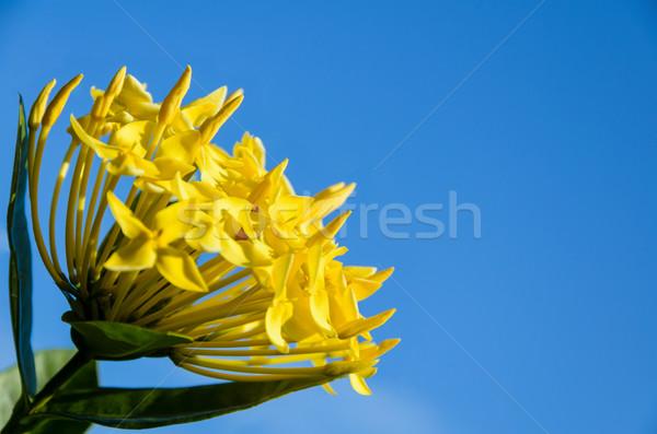 Amarelo flor blue sky natureza folha Foto stock © Yongkiet