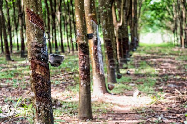 Rubber tree plantation Stock photo © Yongkiet