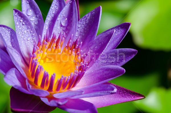 Beautiful purple Lotus flower Stock photo © Yongkiet