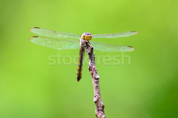 Libellule nature vue bois yeux Photo stock © Yongkiet