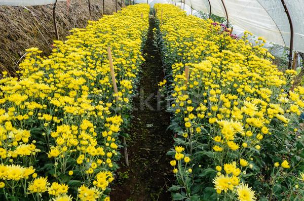 Bent üvegház citromsárga krizantém virágok farmok Stock fotó © Yongkiet